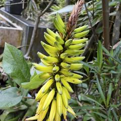 Succulent (ddsnet) Tags: travel plant succulent sony hsinchu taiwan cybershot      sinpu hsinpu   hx1