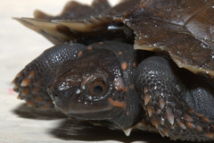 Spiny turtle (heosemys) Tags: turtle reptile spinosa heosemys