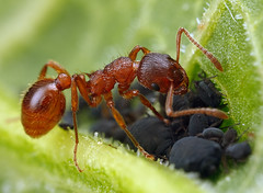 Red Ant Aphid Farming (steb1) Tags: macro nature insect redant hymenoptera aphidfarming myrmica