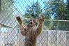 On the Fence (JSleeper) Tags: oregon lynx greatcatsworldpark