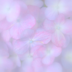Hydrangea that blooms in dreamy (Saraia77(Very slowly....)) Tags: flower color japan canon square eos 50mm soft bokeh pastel squareformat osaka dreamy highkey dreamlike closeuplens 5018 tqp