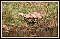 Bird - American Bittern - Waders (blmiers2) Tags: bird nature beautiful birds geotagged nikon florida wildlife faves titusville americanbittern waders avian bittern ardeidae botauruslentiginosus ciconiiformes birdphoto d40x cfbwbirdtour blm18 blmiers2