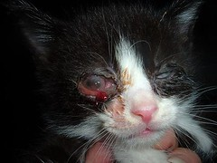 OREO IS HAVING THE OPERATION ON 3 /11/08 THANK-YOU EVERYONE WHO HELPED (boopers rescued cats) Tags: feline kittens felines conjuctivitis sickcats catseyeinjury helpthekitten