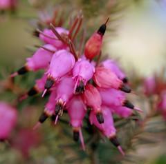 littlepinkones (freebird4) Tags: uk pink flowers macro home garden shropshire 10 nikond50 ellesmere splendiferous freebird4 impressedbeauty goldstaraward littlepinkones