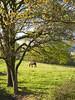 Behorra 0806 (Joxefe Diaz de Tuesta) Tags: horse naturaleza tree green nature canon landscape cheval europa europe mare natura paisaje zb paysage euskalherria euskadi basquecountry paisvasco paysbasque zuhaitza guipuzcoa yegua oñati gipuzkoa paisaia oñate haritza basc behorra josefelixdiazdetuesta atauri