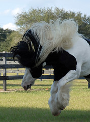 D'Jango Jazz (The Pelton Vanners Gypsy Vanner Horses) Tags: gypsy vanner