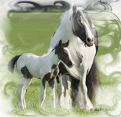 Anna and Kadison (The Pelton Vanners Gypsy Vanner Horses) Tags: gypsy vanner