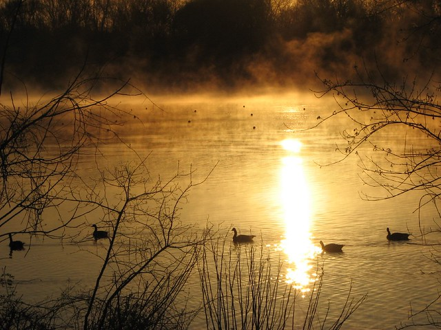 Geese at sunrise on Lake Carnegie