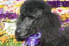 (Jean Arf) Tags: dog spring pansy rochester blackdog astrid poodle highlandpark pansies standardpoodle southwedge fredericklawolmsted 14620 ribbonnecklace pansybed ellwangerbarry