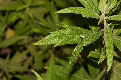 Worm Wood or Mugwort