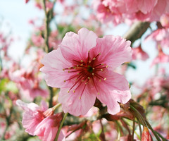 Sakura (Anitah) Tags: pink winter flower colors cores flor rosa sakura inverno cerejeira