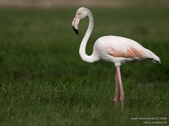 Greater Flamingo - Phoenicopterus roseus (Arpit - The Waders) Tags: birds animals wildlife flamingo greater arpit gujarat phoenicopterus roseus arpitdeomurari deomurari birdsofgujarat birdsofindiabirdsofkutchbirdsofjamnagarwadersbirdsofgulfofkutchjamnagarkutchgreatrannofkutchlittlerannofkutchgujaratindiaindianbirdsarpitwildlifephotographyarpitbirdphotographyarpitwadersphotography gujaratphotography gujaratwildlifephotography gujaratbirdphotography arpitdeomurariwildlifephotography arpitdeomurariphotography kutchwildlifephotography kachchhwildlifephotography indiawildlifephotography