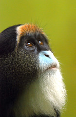 Brazza's monkey (floridapfe) Tags: nature face animal zoo monkey eyes nikon ape kora everland  naturesfinest supershot  golddragon mywinners abigfave aplusphoto brazzas vosplusbellesphotos brazzasmonkey