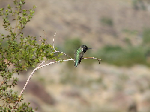 62 Tahquitz Hummingbird by The Bacher Family