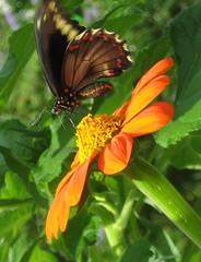Polydamas Swallowtail on Tithonia