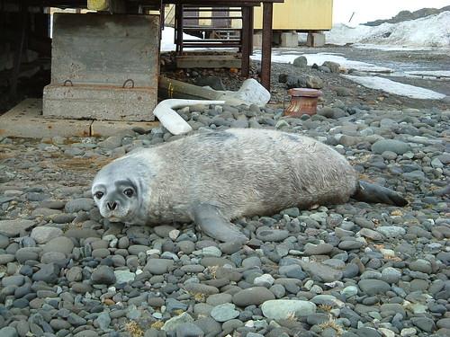 Foca Weddell, Isla de San Jorge
