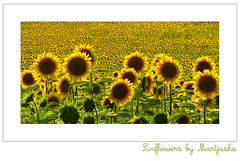 Sunflowers fields forever (Martjusha) Tags: summer italy colors field yellow canon italia estate giallo monet sunflowers saturation sunflower impressionism campo colori umbria girasoli todi naturesfinest aplusphoto theunforgettablepictures qualitypixels photoartbloggroup