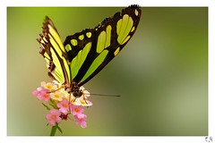 Green butterfly (Eddy.H) Tags: pink white flower color macro green nature eh colors beautiful animal animals closeup fauna canon butterfly insect shot awesome butterflies sigma awsome lepidoptera butterly stunning grn falter makro insekt echte nahaufnahme tier schmetterling butterflys potofgold 70mm insecta hobbyphotograph 400d tagfalter colorphotoaward aplusphoto flickraward fluginsekten macrolife schmetterlingshaussayn mygearandmepremium