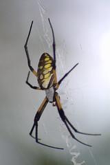 Garden Spider (Argiope)