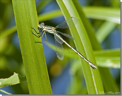 Great Spreadwing (female) (emace) Tags: nature animal female bug insect illinois wildlife damselfly odonata dekalbil dekalbcounty northernillinoisuniversity greatspreadwing fantasticinsect ryannestree