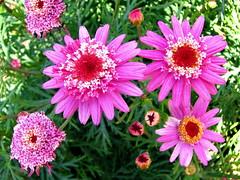 Es blüht beim Ferienhaus (Martin Volpert) Tags: españa flower fleur spain flor pflanze blumen catalonia blomma catalunya blume fiore blüte blomst espagne spanien virág lore bloem catalogna blóm çiçek floro kwiat flos ciuri katalonien catalogne mittelmeer kvet kukka cvijet flouer bláth cvet zieds puntagalera õis floare blome žiedas lestrescales lastrescalas mavo43 lastrescales lestrescalas