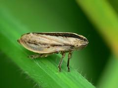 Philaenus spumarius. (Walwyn) Tags: insect warwickshire homoptera philaenusspumarius spumarius philaenus walwyn draycotemeadows profmoriartydotcom:book=885 profmoriartydotcom:book=886