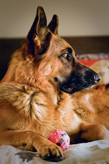 Koen (**Ewie**) Tags: dog pet koen germanshepherd protect gsd sal85f14za