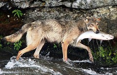 wolves are as efficent as bears at catching salmon