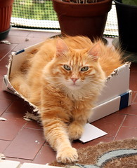 Pupy and the box... (sciack) Tags: catbox kittyschoice