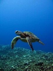 turtle and the blue (bluewavechris) Tags: ocean life blue sea brown green water animal coral hawaii marine underwater turtle reptile shell maui reef flipper theunforgettablepictures