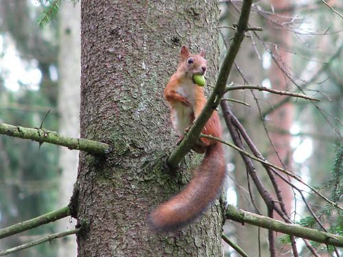 Orav tammetõruga