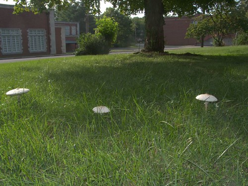 Shaggy Parasol Mushrooms, Front Lawn, Sept. 13, 2008