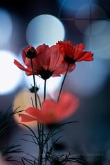 Cosmos Flowers; Asakusa, Tokyo, Japan (Alfie   Japanorama) Tags: street flowers urban flower nature japan night geotagged asian japanese lights tokyo petals blurry neon bokeh blurred asakusa cosmos geo:lat=35711683 geo:lon=139795521