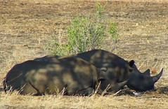 Hooked lipped Rhino (Jacques S G) Tags: africa travel wild nature southafrica tour wildlife safari endangered blackrhino krugernationalpark mpumalanga reise dicerosbicornis rareanimals largepersonalisedtourssafaris photosfrombhubezijake atlargetoursandsafaris hooklippedrhino