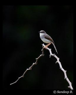 Grey-Breasted Prinia