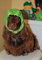 frog in the bathroom (Doxieone) Tags: dog brown green fall halloween long chocolate dachshund frog 2008 haired longhaired halloweenfall2008set ddate