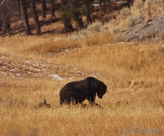 Grizzly Profile (RH Miller) Tags: wildlife yellowstone grizzly bison reedmiller aplusphoto rhmiller