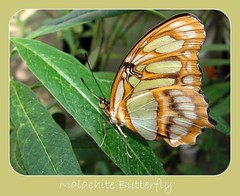 Malachite Butterfly (Laramie_Coyote) Tags: friends nature butterfly soe malachite potofgold blueribbonwinner caughtup malachitebutterfly 14karatgold anawesomeshot impressedbeauty flickrbronze theunforgettablepictures goldstaraward top20greenish naturespotofgold dragonflyawards printedalready pogchallengewinners btglevel1 rainbowelite