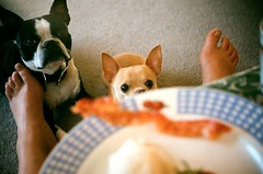 bacon for breakfast (EllenJo) Tags: arizona usa pets chihuahua film feet home dogs breakfast 35mm bostonterrier bacon eyes focus ivan rangefinder floyd sundaymorning attentive begging argus beggars c3 moochers breakfastplate ellenjo ellenjoroberts baconforbreakfast