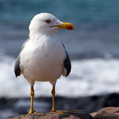 Gull (Katka S.) Tags: sea portrait espaa bird nature animal island islands spain sand erasmus seagull gull lanzarote canarias atlantic unesco canary 2008 volcanic islas reservation llp fotocompetition fotocompetitionbronze
