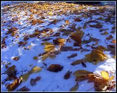 Colección Otoño - Invierno (Patataasada) Tags: otoño invierno noviembre nieve snow hojas hoja leaf autumn winter jaca huesca aragón pirineoaragonés españa spain wonderfulworldmix iloveit friends anawesomeshot damniwishidtakenthat flickrestrellas blueribbonwinner quarzoespecial 1001nights aplusphoto frío cold cool a3b