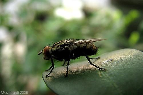 mae-flies2