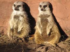 (Julia TortoiseHugger) Tags: cute oklahoma zoo meerkat fuzzy belly okc chubby mongoose meerkats oklahomacityzoo okczoo suricata