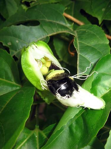 passiflorapollen