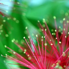 bottlebrush (Zapped!) Tags: christmas red flower macro green nature garden native bokeh australian brisbane queensland bottlebrush macroflowerlovers