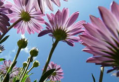 The Giants (Kristin Repsher) Tags: flowers sky purple perspective australia perth stems daisy wa westernaustralia africandaisies wonderfulworldofflowers epiceditsselection featuredonadidapcom featuredondiyp top20worldwide