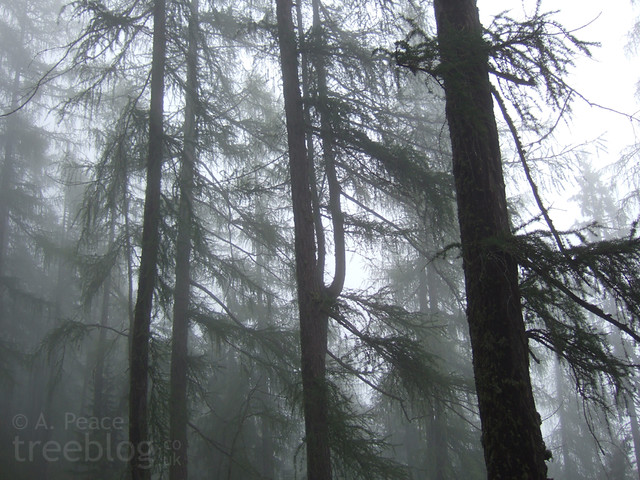 larch in the mist
