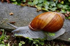 Mr. Grey (Daniel Garcia Neto) Tags: brazil brasil daniel shell snail garcia escargot soe caracol chiocciola neto schneck danielgarcia blueribbonwinner カタツムリ danielneto drgn heliko 달팽이 abigfave anawesomeshot goldstaraward drgn0 danielgarcianeto