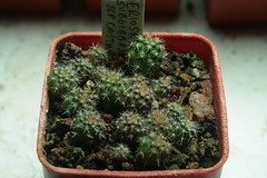 Eriosyce subgibbosa ssp castanea seedlings (Blossfeldiana) Tags: seedlings castanea eriosyce subgibbosa hugyourcacti