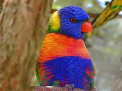 Rainbow Lorikeet (nibot_au) Tags: lorikeet rainbowlorikeet australianbirds